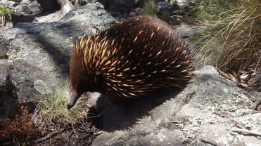 An Echidna in the wild.